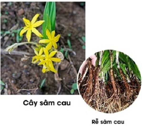 Sâm cau là loại cây thảo, sống lâu năm, cao 20 - 30cm, hay hơn. Lá 3 - 6, hình mũi mác hẹp, xếp nếp và có gân như lá cau, dài 20 - 40cm, rộng 2,5 - 3cm, cuống lá dài khoảng 10cm.
