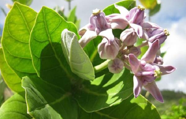 Sâm bồng bồng là cây nhỏ, cao 1 -2m. Cây này thường được trồng làm cảnh, hoặc cắm trong dịp tết.