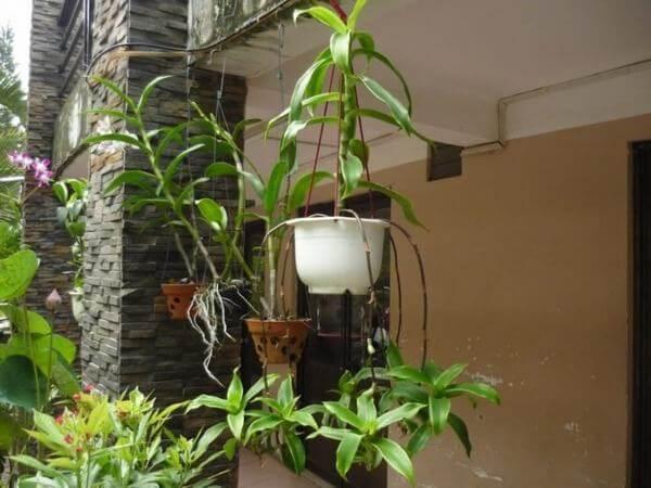 Trồng cây lược vàng trong nhà giúp thanh lọc không khí. (ảnh: internet)