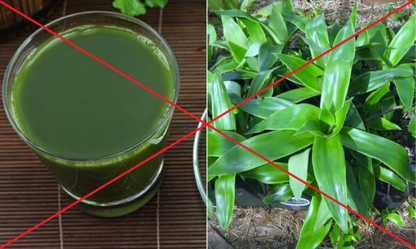 Không nên xay cây lược vàng làm nước uống như nước rau má. (ảnh: internet)
