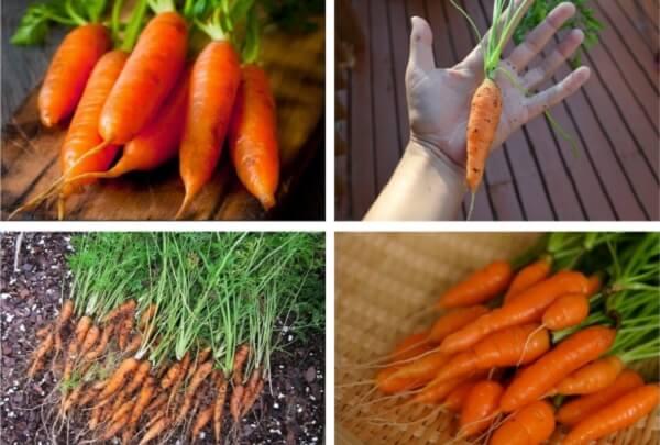 Cà rốt mặc dù là loại thực phẩm chứa nhiều khoáng chất thiết yếu cho cơ thể con người. Tuy nhiên, nếu ăn quá nhiều, nó có thể phản tác dụng ...