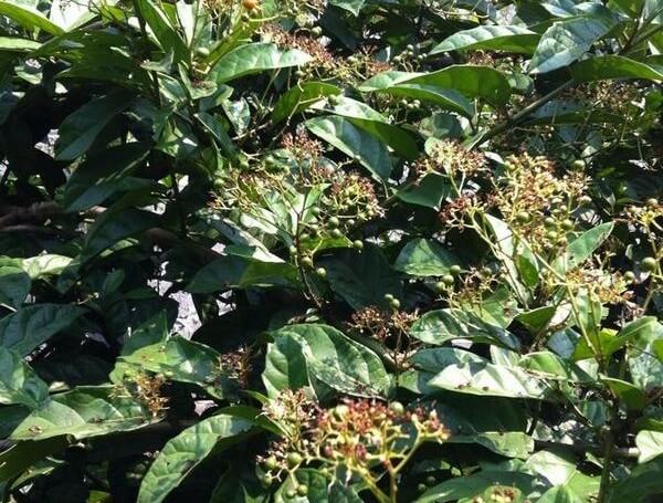 Xạ đen là loài thực vật thuộc họ Celastraceae. Chúng được George Bentham miêu tả khoa học đầu tiên năm 1851. Cây xạ đen còn có các tên gọi là bách giải, đồng triều, bạch vạn hoa, cây dây gối, hay quả nâu, hoặc cây ung thư. Wikipedia