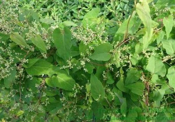 Hà thủ ô đỏ. Loài cây được sử dụng làm thuốc. Hà thủ ô đỏ chủ yếu được biết đến như là một vị thuốc bổ, trị suy nhược thần kinh, ích huyết, khỏe gân cốt, đen râu tóc. Tên gọi khác: Giao đằng, dạ hợp. Wikipedia