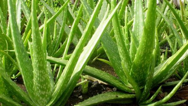 Lô hội (tên gọi khác là nha đam, tên tiếng Anh là aloe vera) là cây ... Nhựa lô hội có thể gây ra các tác dụng phụ như đau dạ dày hay co thắt.