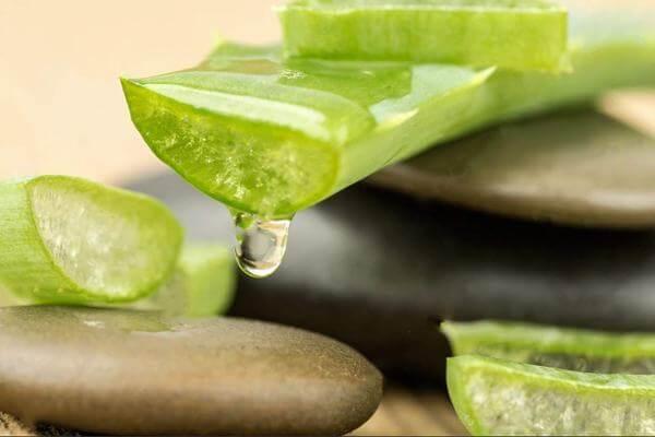 Cây nha đam hay được gọi là cây lô hội thường được sử dụng trong việc làm đẹp da. Hãy tìm hiểu tác dụng của cây nha đam và cách sử dụng