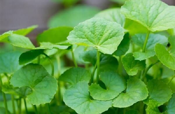 Các chuyên gia dinh dưỡng khuyến cáo rằng rau má mặc dù an toàn nhưng không nên sử dụng quá 6 tuần mà không có chỉ định của bác sĩ.