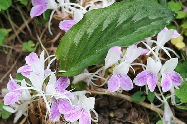 Cây tam thất nam thân củ, hoa tím, lá thuôn dài