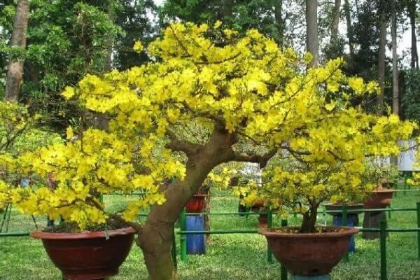 Bật mí cách chăm sóc mai vàng nở hoa đúng vào dịp Tết ở miền Bắc – Cách lặt lá mai, chăm sóc mai vàng trong chậu