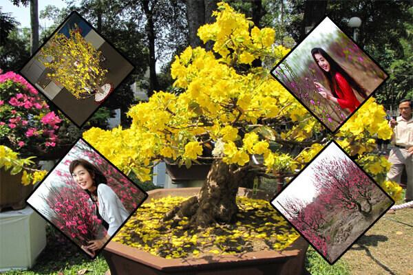 Làm sao để cây hoa mai nở đúng dịp Tết Nguyên Đán?