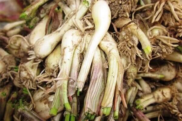 Củ kiệụ là loại cây thân thảo thuộc họ nhà tỏi
