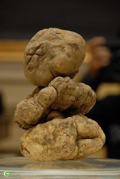 Nấm Truffle là nấm đắt giá nhất thế giới – Tên, hình ảnh các loại nấm thông dụng ăn được, nấm độc ở Việt Nam