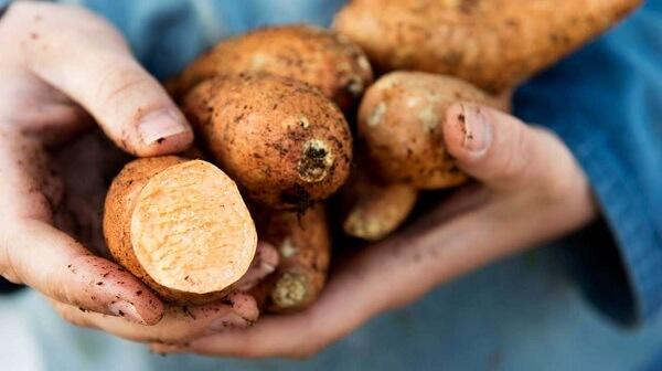 Khoai lang chỉ có họ xa với khoai tây