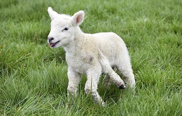Đột biến tự nhiên cừu chân ngắn ở Anh