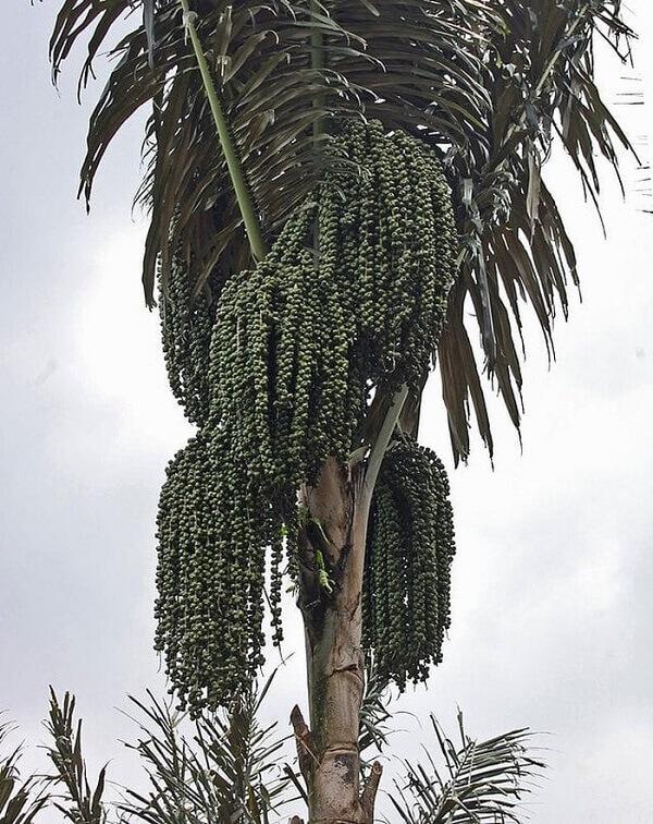 Ở tuổi trưởng thành cây có đường kính khoảng 40–50 cm (gốc và ngọn tương đương) và cao chừng 8-12 mét.