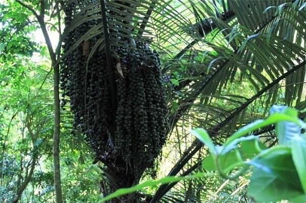 Bông của cây đác phân nhiều nhánh, khá cong.