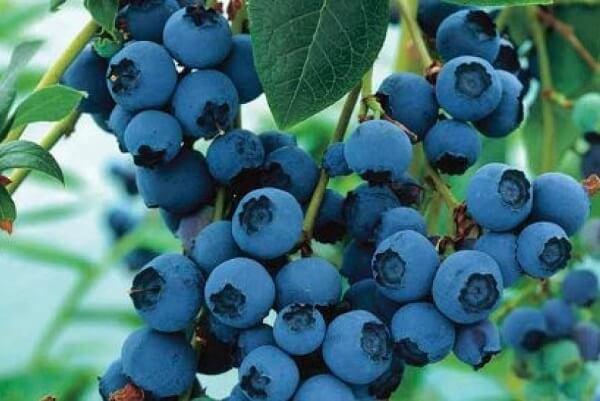 Quả việt quất còn giúp chống lại bệnh tiểu đường, bệnh tim mạch, giảm cholesterol