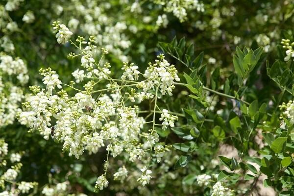Cây hoa hòe có tác dụng gì với sức khỏe, hoa hòe chữa mất ngủ ra sao?