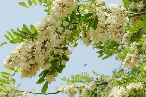 Hoa hòe hay còn được gọi là hòe hoa hay hòe mễ. Hoa hòe có tác dụng tốt cho sức khỏe, hỗ trợ chữa bệnh.