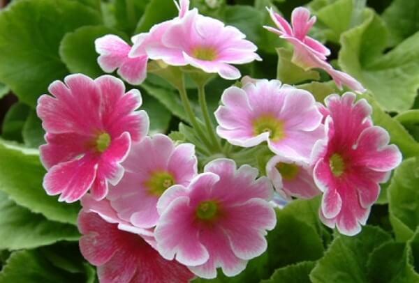 Hoa anh thảo có tên khoa học là Cyclamen, thuộc họ thực vật hoa báo xuân.