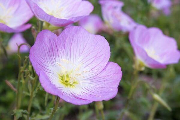 Hoa anh thảo còn có tên gọi khác là Nhọc trâm.