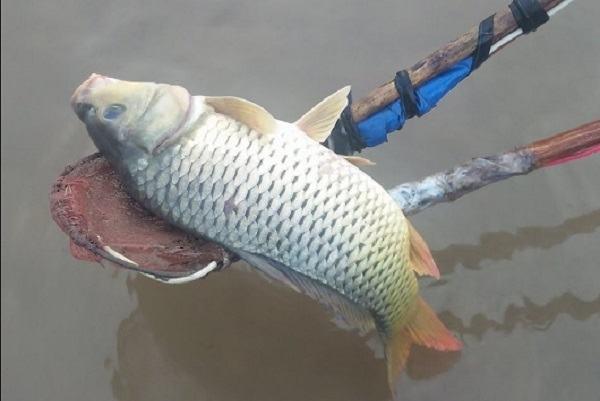 Cá chép là nguyên liệu để chế biến nhiều món ăn ngon
