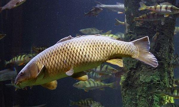 Khi bị các bệnh này, thì bệnh nhân không nên ăn cá chép