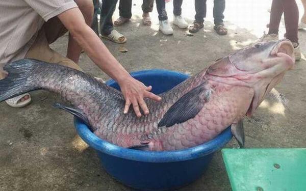 Cá trắm đen là loài cá nước ngọt, sống ở các ao hồ