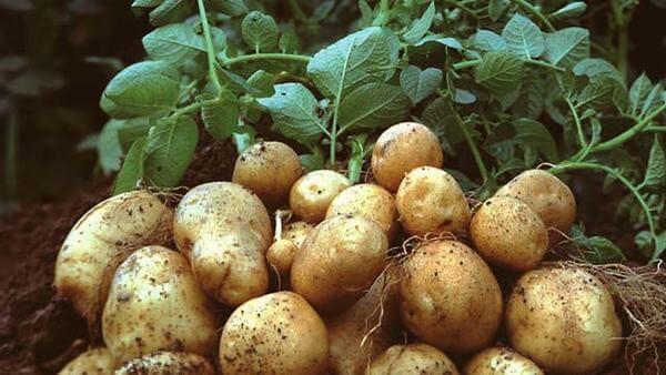 7 món ngon từ khoai tây, cách làm bánh khoai tây cho bé trong bữa cơm hàng ngày