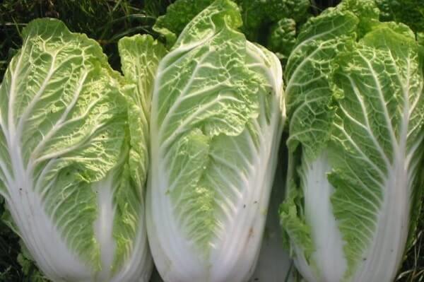 Cải bắp thảo phải được bảo quản đúng cách, nếu ăn phải cải bị hư hỏng có thể gây nguy hiểm cho con người.
