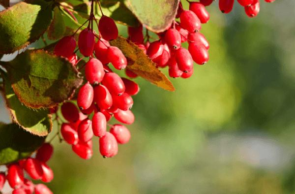 Berberine là một hoạt chất xuất hiện trong một số loại thảo dược như vàng đắng, hoàng bá