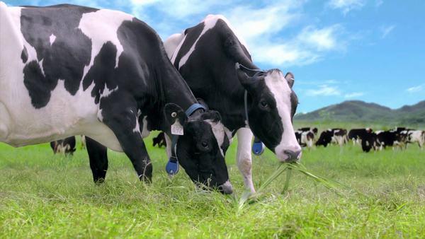 Sữa tươi nguyên kem là nguồn sữa được lấy từ những chú bò khỏe mạnh trên các nông trại chất lượng, uy tín trên thế giới