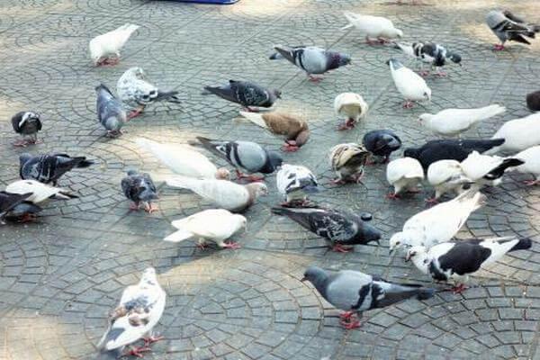 Những cách chế biến chim bồ câu thành món ngon đơn giản dễ làm