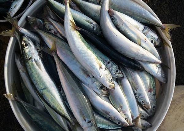 Cá nục cũng là nguồn cung cấp lượng lớn các axit béo Omega-3 và axit béo Omega-6
