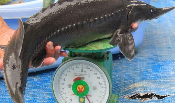6 món ngon từ cá tầm, cách chế biến cá tầm như cá tầm xào nấm, hấp xì dầu, cá tầm chiên muối sả