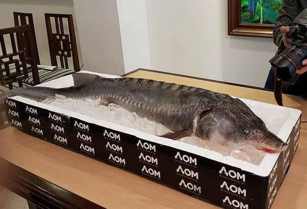 Cá tầm có kích thước trung bình dài khoảng 2,5-3,5 m