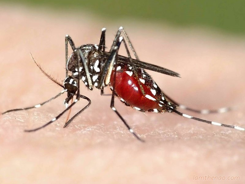 Sốt xuất huyết do muỗi vằn