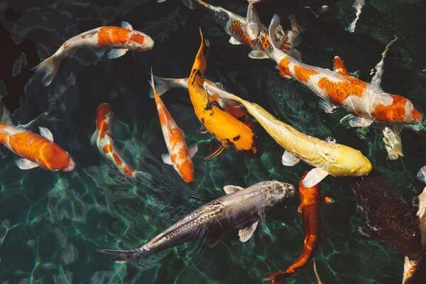 Giải mã giấc mơ thấy cá trong từng trường hợp gặp cá cụ thể