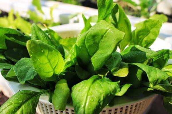 Rau chân vịt (rau bina, rau cải bó xôi) 469µg vitamin A trong 100gr