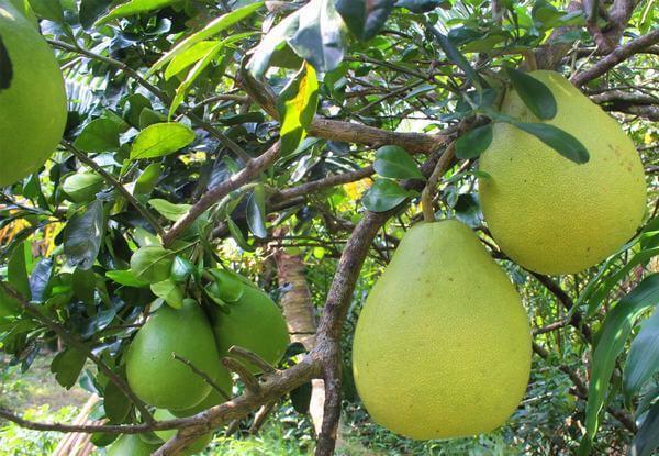 Trong trái bưởi cũng chứa một lượng lớn vitamin A và vitamin C