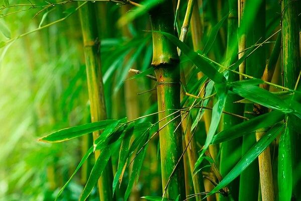 Thuyết minh về công dụng cây tre cho sức khỏe, hình ảnh đẹp đẽ cây tre Việt Nam