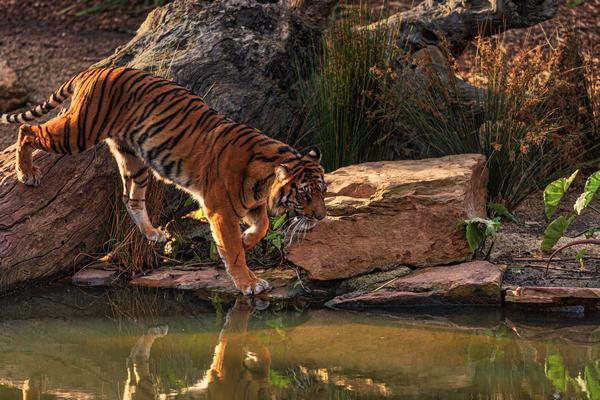 Hổ - Chúa tể sơn lâm, hùm thiêng ngự trị núi rừng