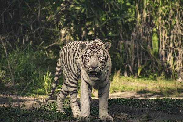 Giấc mơ thấy hổ trắng này là điềm báo về tinh thần và cuộc sống của chính bản thân bạn.