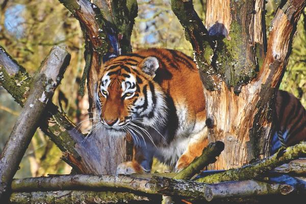 Ngoài hình ảnh sức mạnh, linh thiêng, vẻ đẹp huyền bí, hổ còn là loài đại diện cho nữ giới