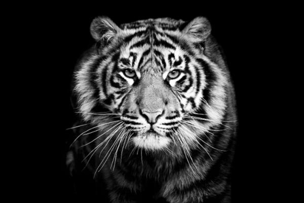 [GMGM] 20 điềm báo mơ thấy hổ đuổi, mơ thấy cọp vàng cọp trắng, mơ thấy hổ đánh con gì?