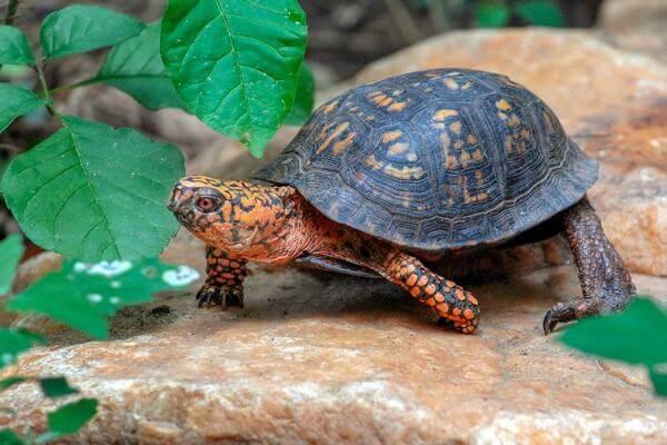 Trong văn hóa thờ cúng của người phương Đông, rùa là một trong tứ linh gồm Long, Lân, Quy, Phụng