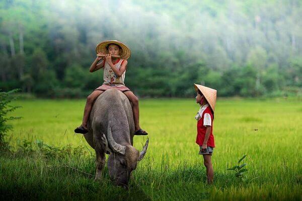 [GMGM] Mơ thấy trâu đuổi húc mình, trâu húc nhau và điềm báo, mơ thấy con trâu đánh con gì để may mắn và bình an