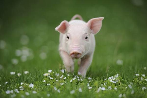 Sinh năm 1959 là tuổi con Lợn (Kỷ Hợi)