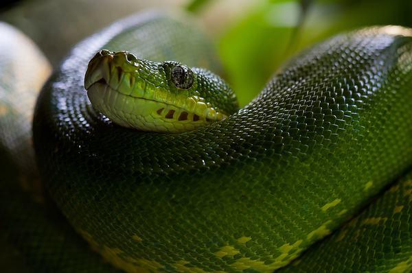Nằm mơ thấy 3 con rắn hổ mang là điềm gì?