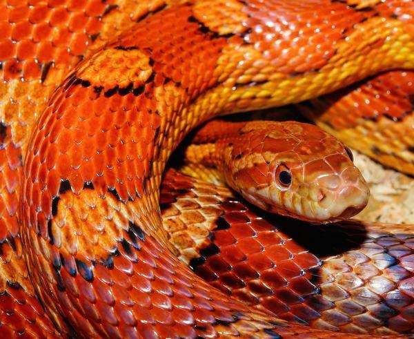 Mơ thấy 2 con rắn hổ mang đi theo mình - có quý nhân phù trợ