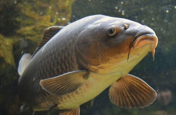 Giấc mơ thấy bắt cá chép là giấc mơ mang điềm lành, bạn sẽ có nhiều may mắn trong công việc